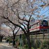 近所の桜が満開になった